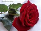 Rose-hoahong08.jpg