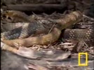 Cobra-vs-Rat-Snake.flv