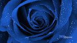Blue_rose_01.jpg