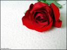 Beautiful_rose11.jpg