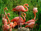 Edenpics-com_005-120-Flock-of-10-Pink-flamingo-gathered-around-a-female-which-is-watching-over-it-s.jpg