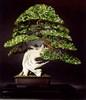 Phot-bonsai-boida1.jpg