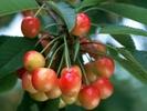 0.Cherry2.jpg