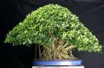 0.art_of_bonsai14.jpg