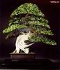 0.bonsai3.jpg