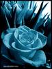 0.rose-hoahong12.jpg