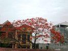 Hoa_phuong_3.jpg