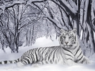 ConHo_OngCop_Hotrang_WhiteTiger_PantheraTigrisNLS.jpg