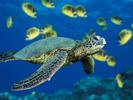 Green_Sea_Turtle.jpg