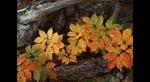 Autumn_Leaves_Nat_oleshow0.flv