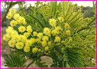 Hoa_Mimosa.jpg