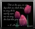 Hoa_tulip.jpg