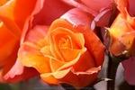 A_Rose_Amongst_the_Thorns.jpg