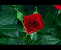 YouTube__flower_blooming_rose_hong_do_co_la.flv