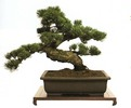 4bonsai_tree2.jpg