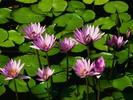 Water_lilies2.jpg