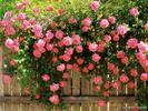 1294938672_american_beauty_climbing_roses648.jpg