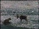Wildlife_05_Grizzly_Bear_vs_Caribou__Clipvn2.flv