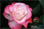 Rosehoahongdep09.jpg