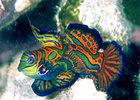 Mandarinfish32877636x4t1.jpg