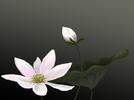 Hoa_sen_3.jpg
