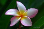 Hoa_Kha.jpg