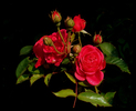 Rose_132.jpg