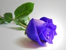 Rose_136.jpg