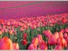 Tulip.flv