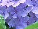 5Banhso_net5D_Hydrangea_973691.jpg