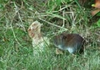 YouTube__A_Hungry_Vole.flv