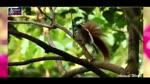 Ve_dep_tuyet_mi_cua_39_loai_chim_thien_duong_Birdofparadise.flv