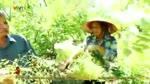 Mua_hoa_hoe_o_lang_vuon_Bach_Thuan_Thai_Binh.flv