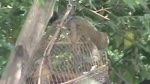 Wow__Amazing_Birds_Trap__How_To_Make_A_Bird_Trap_Easily_That_Work.flv